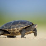 amphibian-slow-turtle